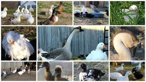 valentines goose.jpg